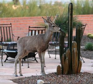 Arizona Deer